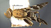 http://mczbase.mcz.harvard.edu/specimen_images/entomology/large/MCZ-ENT00030827_Rhagoletis_zoqui_had.jpg