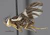 http://mczbase.mcz.harvard.edu/specimen_images/entomology/large/MCZ-ENT00030828_Rhagoletis_cornivora_hal.jpg