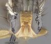 http://mczbase.mcz.harvard.edu/specimen_images/entomology/large/MCZ-ENT00030828_Rhagoletis_cornivora_hef.jpg