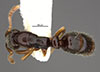 http://mczbase.mcz.harvard.edu/specimen_images/entomology/large/MCZ-ENT00030919_Ponera_chapmani_had.jpg