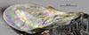 http://mczbase.mcz.harvard.edu/specimen_images/entomology/large/MCZ-ENT00030936_Rhabdepyris_huachucae_fwg.jpg