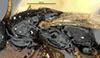 http://mczbase.mcz.harvard.edu/specimen_images/entomology/large/MCZ-ENT00030936_Rhabdepyris_huachucae_thl.jpg
