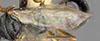 http://mczbase.mcz.harvard.edu/specimen_images/entomology/large/MCZ-ENT00030938_Mesitius_nigripilosus_fwg.jpg