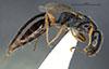 http://mczbase.mcz.harvard.edu/specimen_images/entomology/large/MCZ-ENT00030940_Trichotepyris_apache_hal.jpg