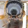 http://mczbase.mcz.harvard.edu/specimen_images/entomology/large/MCZ-ENT00030940_Trichotepyris_apache_hef.jpg