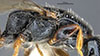 http://mczbase.mcz.harvard.edu/specimen_images/entomology/large/MCZ-ENT00030940_Trichotepyris_apache_thl.jpg