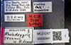 http://mczbase.mcz.harvard.edu/specimen_images/entomology/large/MCZ-ENT00030941_Rhabdepyris_texanus_lbs.jpg