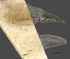 http://mczbase.mcz.harvard.edu/specimen_images/entomology/large/MCZ-ENT00030941_Rhabdepyris_texanus_win.jpg