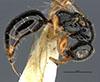 http://mczbase.mcz.harvard.edu/specimen_images/entomology/large/MCZ-ENT00030942_Rhabdepyris_mexicanus_hal.jpg