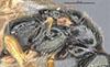 http://mczbase.mcz.harvard.edu/specimen_images/entomology/large/MCZ-ENT00030942_Rhabdepyris_mexicanus_thl.jpg