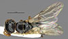 http://mczbase.mcz.harvard.edu/specimen_images/entomology/large/MCZ-ENT00030943_Rhabdepyris_fortunatus_had.jpg