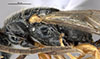 http://mczbase.mcz.harvard.edu/specimen_images/entomology/large/MCZ-ENT00030944_Rhabdepyris_lupus_thl.jpg