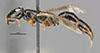 http://mczbase.mcz.harvard.edu/specimen_images/entomology/large/MCZ-ENT00030946_Rhabdepyris_angusticeps_hal.jpg
