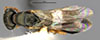 http://mczbase.mcz.harvard.edu/specimen_images/entomology/large/MCZ-ENT00030949_Rhabdepyris_iridescens_had.jpg