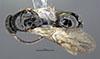 http://mczbase.mcz.harvard.edu/specimen_images/entomology/large/MCZ-ENT00030952_Rhabdepyris_puncticeps_had.jpg