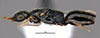 http://mczbase.mcz.harvard.edu/specimen_images/entomology/large/MCZ-ENT00030953_Rhabdepyris_vesculus_hal.jpg