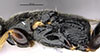 http://mczbase.mcz.harvard.edu/specimen_images/entomology/large/MCZ-ENT00030953_Rhabdepyris_vesculus_thl.jpg