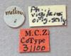 Media of type image, MCZ:Ent:31100 Identified as Pheidole vigilans type status Syntype of Atta vigilans. . Aspect: labels