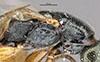 http://mczbase.mcz.harvard.edu/specimen_images/entomology/large/MCZ-ENT00031205_Anisepyris_tlaloc_thl.jpg