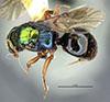 http://mczbase.mcz.harvard.edu/specimen_images/entomology/large/MCZ-ENT00031206_Anisepyris_immarginatus_had.jpg