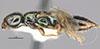 http://mczbase.mcz.harvard.edu/specimen_images/entomology/large/MCZ-ENT00031207_Anisepyris_antiguensis_hal.jpg