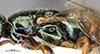 http://mczbase.mcz.harvard.edu/specimen_images/entomology/large/MCZ-ENT00031207_Anisepyris_antiguensis_thl.jpg
