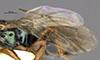 http://mczbase.mcz.harvard.edu/specimen_images/entomology/large/MCZ-ENT00031207_Anisepyris_antiguensis_win.jpg