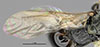 http://mczbase.mcz.harvard.edu/specimen_images/entomology/large/MCZ-ENT00031208_Anisepyris_proteus_fwg.jpg