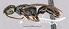 http://mczbase.mcz.harvard.edu/specimen_images/entomology/large/MCZ-ENT00031210_Anisepyris_inca_hal.jpg