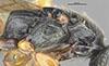 http://mczbase.mcz.harvard.edu/specimen_images/entomology/large/MCZ-ENT00031211_Anisepyris_bolivari_thl.jpg