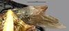 http://mczbase.mcz.harvard.edu/specimen_images/entomology/large/MCZ-ENT00031211_Anisepyris_bolivari_win.jpg