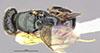 http://mczbase.mcz.harvard.edu/specimen_images/entomology/large/MCZ-ENT00031212_Anisepyris_anduzei_had.jpg