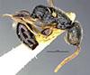 http://mczbase.mcz.harvard.edu/specimen_images/entomology/large/MCZ-ENT00031212_Anisepyris_anduzei_hal.jpg