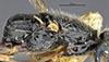 http://mczbase.mcz.harvard.edu/specimen_images/entomology/large/MCZ-ENT00031212_Anisepyris_anduzei_thl.jpg