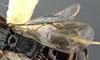 http://mczbase.mcz.harvard.edu/specimen_images/entomology/large/MCZ-ENT00031213_Anisepyris_wilsoni_fwg.jpg