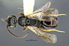 http://mczbase.mcz.harvard.edu/specimen_images/entomology/large/MCZ-ENT00031213_Anisepyris_wilsoni_had.jpg