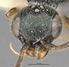 http://mczbase.mcz.harvard.edu/specimen_images/entomology/large/MCZ-ENT00031213_Anisepyris_wilsoni_hef.jpg