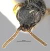 http://mczbase.mcz.harvard.edu/specimen_images/entomology/large/MCZ-ENT00031214_Anisepyris_penai_hef.jpg