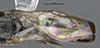 http://mczbase.mcz.harvard.edu/specimen_images/entomology/large/MCZ-ENT00031215_Anisepyris_colimae_fwg.jpg