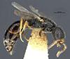http://mczbase.mcz.harvard.edu/specimen_images/entomology/large/MCZ-ENT00031217_Anisepyris_papago_hal.jpg