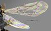 http://mczbase.mcz.harvard.edu/specimen_images/entomology/large/MCZ-ENT00031217_Anisepyris_papago_win.jpg