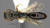 http://mczbase.mcz.harvard.edu/specimen_images/entomology/large/MCZ-ENT00031219_Anisepyris_delicatus_had.jpg