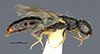 http://mczbase.mcz.harvard.edu/specimen_images/entomology/large/MCZ-ENT00031219_Anisepyris_delicatus_hal.jpg