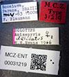http://mczbase.mcz.harvard.edu/specimen_images/entomology/large/MCZ-ENT00031219_Anisepyris_delicatus_lbs.jpg