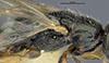 http://mczbase.mcz.harvard.edu/specimen_images/entomology/large/MCZ-ENT00031219_Anisepyris_delicatus_thl.jpg