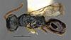 http://mczbase.mcz.harvard.edu/specimen_images/entomology/large/MCZ-ENT00031221_Anisepyris_cariniceps_had.jpg