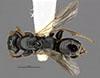 http://mczbase.mcz.harvard.edu/specimen_images/entomology/large/MCZ-ENT00031223_Anisepyris_sculptilis_had.jpg