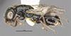 http://mczbase.mcz.harvard.edu/specimen_images/entomology/large/MCZ-ENT00031223_Anisepyris_sculptilis_hal.jpg