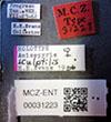 http://mczbase.mcz.harvard.edu/specimen_images/entomology/large/MCZ-ENT00031223_Anisepyris_sculptilis_lbs.jpg