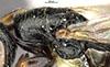 http://mczbase.mcz.harvard.edu/specimen_images/entomology/large/MCZ-ENT00031223_Anisepyris_sculptilis_thl.jpg